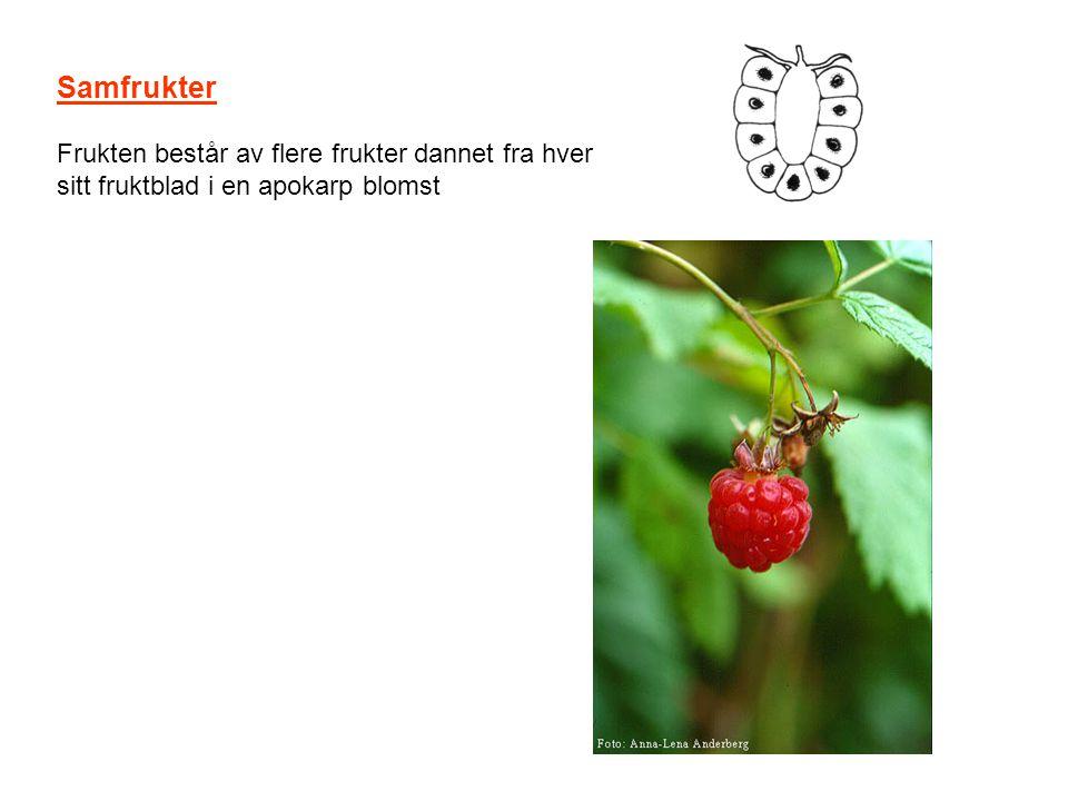 Samfrukter Frukten består av flere frukter dannet fra hver sitt fruktblad i en apokarp blomst