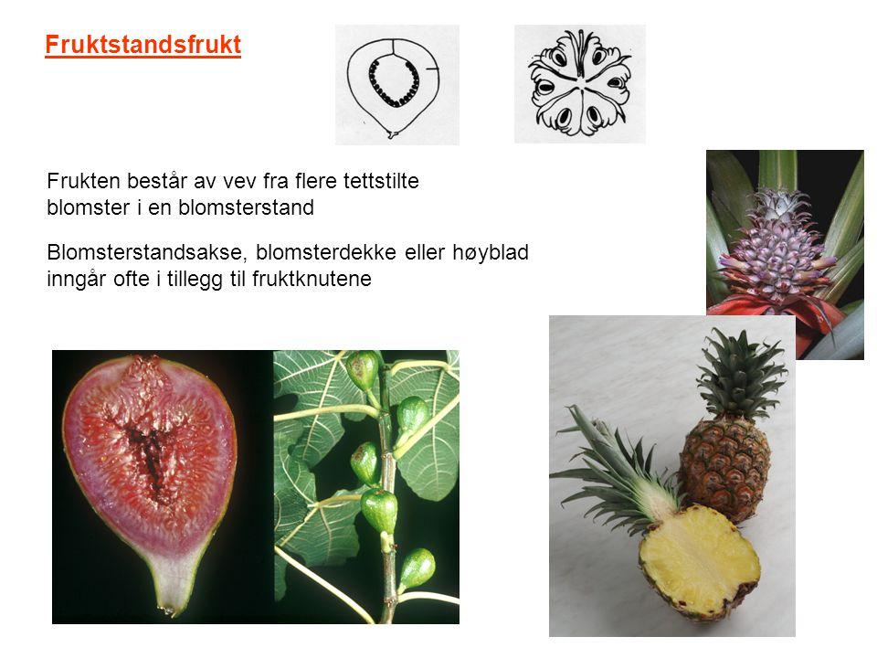 Fruktstandsfrukt Frukten består av vev fra flere tettstilte blomster i en blomsterstand Blomsterstandsakse, blomsterdekke eller høyblad inngår ofte i
