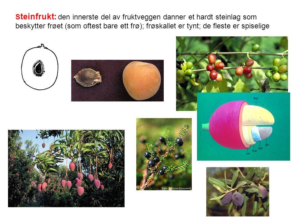 S teinfrukt: den innerste del av fruktveggen danner et hardt steinlag som beskytter frøet (som oftest bare ett frø); frøskallet er tynt; de fleste er