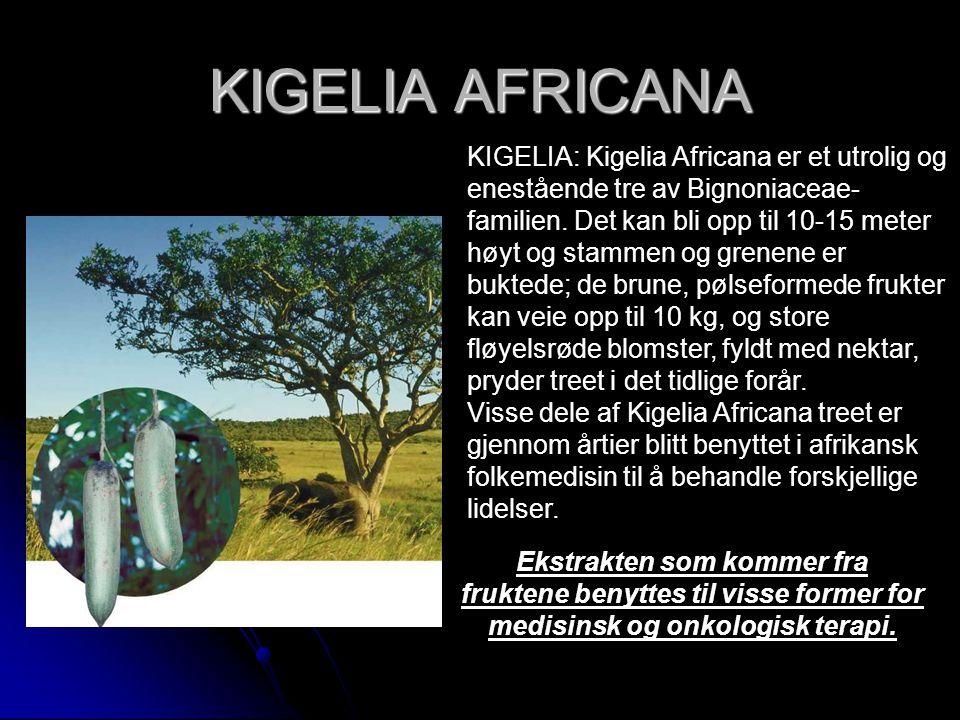 KIGELIA AFRICANA KIGELIA: Kigelia Africana er et utrolig og enestående tre av Bignoniaceae- familien. Det kan bli opp til 10-15 meter høyt og stammen