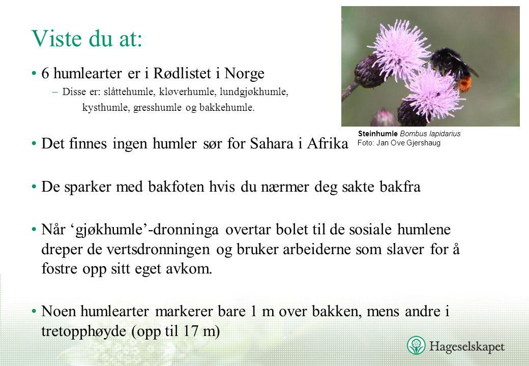 Viste du at: •6 humlearter er i Rødlistet i Norge –Disse er: slåttehumle, kløverhumle, lundgjøkhumle, kysthumle, gresshumle og bakkehumle.