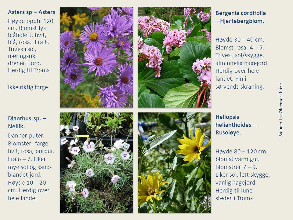 Asters sp – Asters Høyde opptil 120 cm. Blomst lys blåfiolett, hvit, blå, rosa. Fra 8. Trives i sol, næringsrik drenert jord. Herdig til Troms Ikke ri