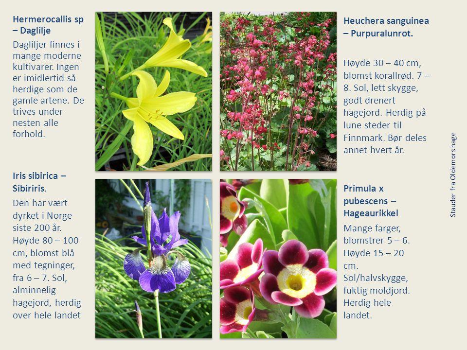 Hermerocallis sp – Daglilje Dagliljer finnes i mange moderne kultivarer. Ingen er imidlertid så herdige som de gamle artene. De trives under nesten al