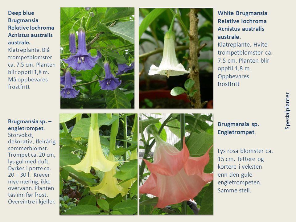 Deep blue Brugmansia Relative Iochroma Acnistus australis australe. Klatreplante. Blå trompetblomster ca. 7.5 cm. Planten blir opptil 1,8 m. Må oppbev