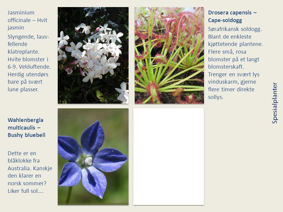 Jasminium officinale – Hvit jasmin Slyngende, lauv- fellende klatreplante. Hvite blomster i 6-9. Velduftende. Herdig utendørs bare på svært lune plass