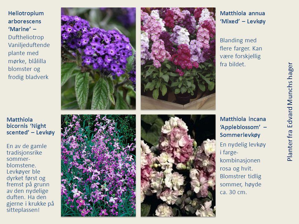 Heliotropium arborescens 'Marine' – Duftheliotrop Vaniljeduftende plante med mørke, blålilla blomster og frodig bladverk Matthiola annua 'Mixed' – Lev