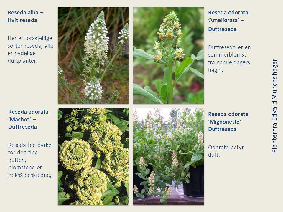 Reseda alba – Hvit reseda Her er forskjellige sorter reseda, alle er nydelige duftplanter. Reseda odorata 'Ameliorata' – Duftreseda Duftreseda er en s