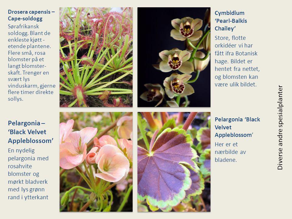 Drosera capensis – Cape-soldogg Sørafrikansk soldogg. Blant de enkleste kjøtt - etende plantene. Flere små, rosa blomster på et langt blomster- skaft.