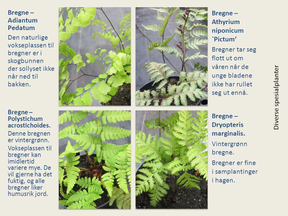 Bregne – Adiantum Pedatum Den naturlige vokseplassen til bregner er i skogbunnen der sollyset ikke når ned til bakken. Bregne – Athyrium niponicum `Pi