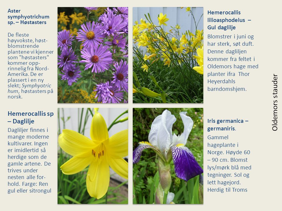 Aster symphyotrichum sp. – Høstasters De fleste høyvokste, høst- blomstrende plantene vi kjenner som