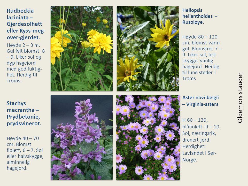 Rudbeckia laciniata – Gjerdesolhatt eller Kyss-meg- over-gjerdet. Høyde 2 – 3 m. Gul fylt blomst. 8 – 9. Liker sol og dyp hagejord med god fuktig- het