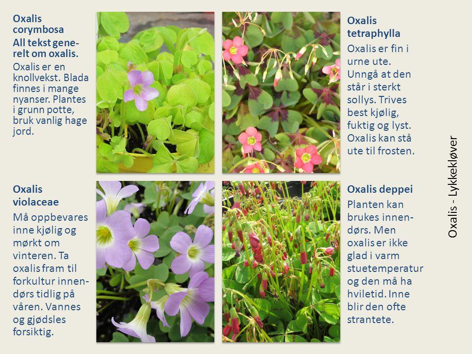 Oxalis corymbosa All tekst gene- relt om oxalis. Oxalis er en knollvekst. Blada finnes i mange nyanser. Plantes i grunn potte, bruk vanlig hage jord.