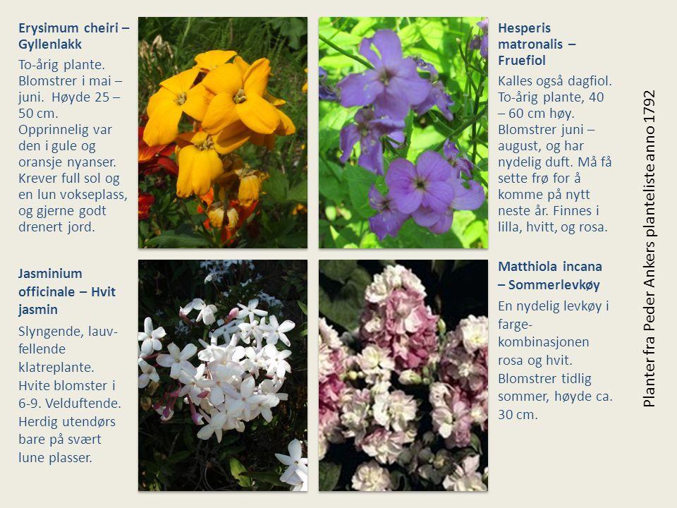 Erysimum cheiri – Gyllenlakk To-årig plante. Blomstrer i mai – juni. Høyde 25 – 50 cm. Opprinnelig var den i gule og oransje nyanser. Krever full sol
