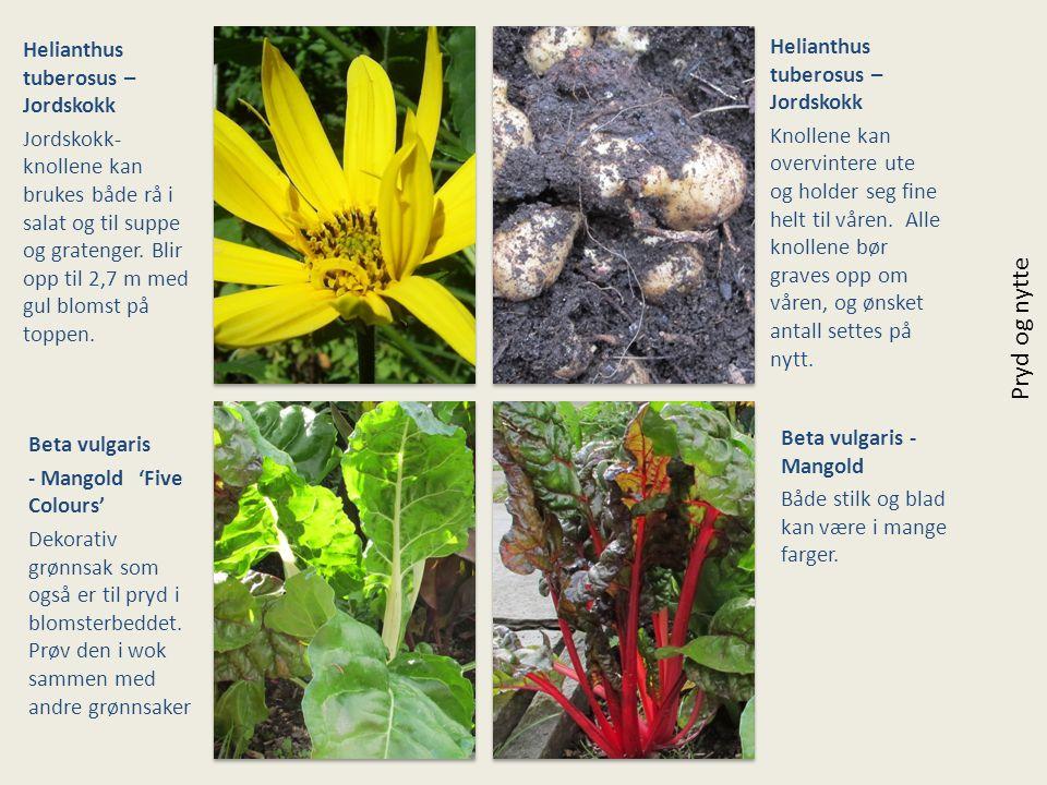 Helianthus tuberosus – Jordskokk Jordskokk- knollene kan brukes både rå i salat og til suppe og gratenger. Blir opp til 2,7 m med gul blomst på toppen