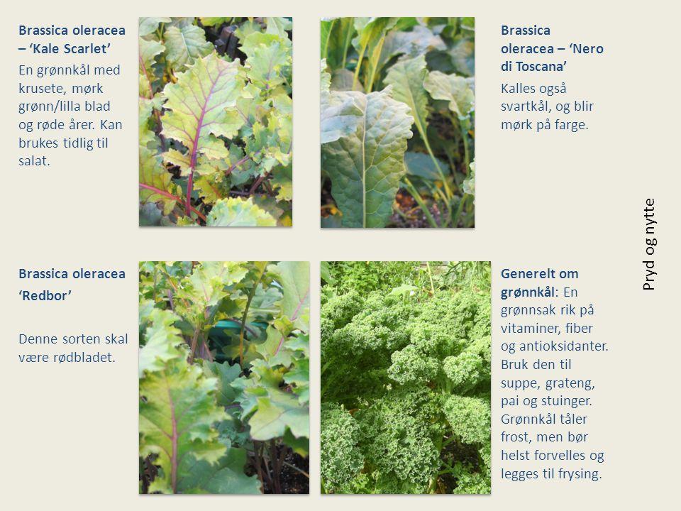 Brassica oleracea – 'Kale Scarlet' En grønnkål med krusete, mørk grønn/lilla blad og røde årer. Kan brukes tidlig til salat. Brassica oleracea – 'Nero