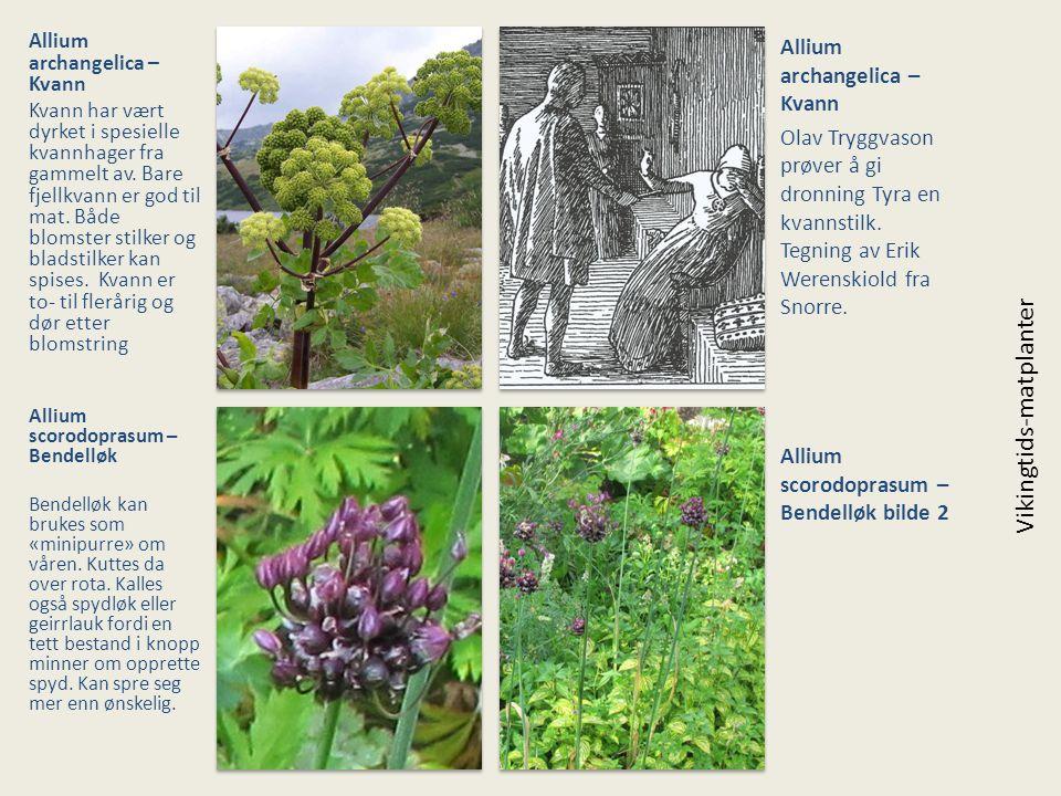 Allium archangelica – Kvann Kvann har vært dyrket i spesielle kvannhager fra gammelt av. Bare fjellkvann er god til mat. Både blomster stilker og blad