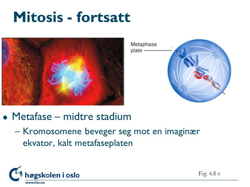 Mitosis - fortsatt l Metafase – midtre stadium –Kromosomene beveger seg mot en imaginær ekvator, kalt metafaseplaten Fig.