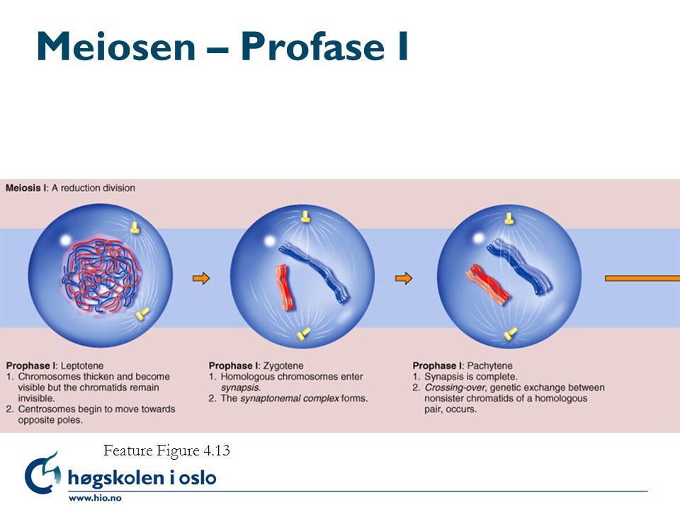 Meiosen – Profase I Feature Figure 4.13