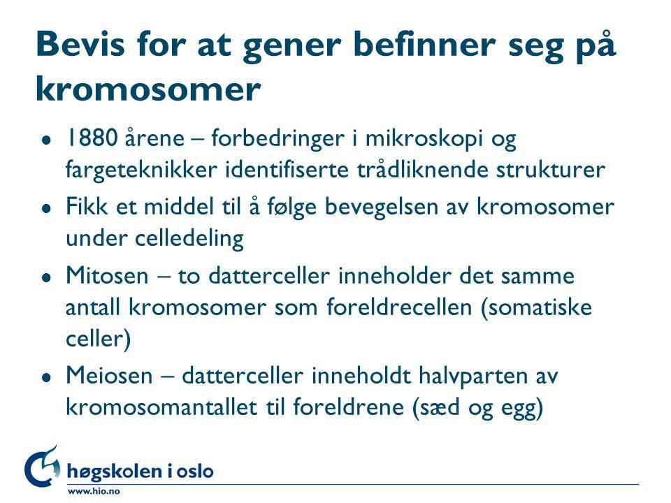 Bevis for at gener befinner seg på kromosomer l 1880 årene – forbedringer i mikroskopi og fargeteknikker identifiserte trådliknende strukturer l Fikk et middel til å følge bevegelsen av kromosomer under celledeling l Mitosen – to datterceller inneholder det samme antall kromosomer som foreldrecellen (somatiske celler) l Meiosen – datterceller inneholdt halvparten av kromosomantallet til foreldrene (sæd og egg)