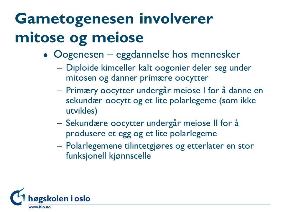 Gametogenesen involverer mitose og meiose l Oogenesen – eggdannelse hos mennesker –Diploide kimceller kalt oogonier deler seg under mitosen og danner