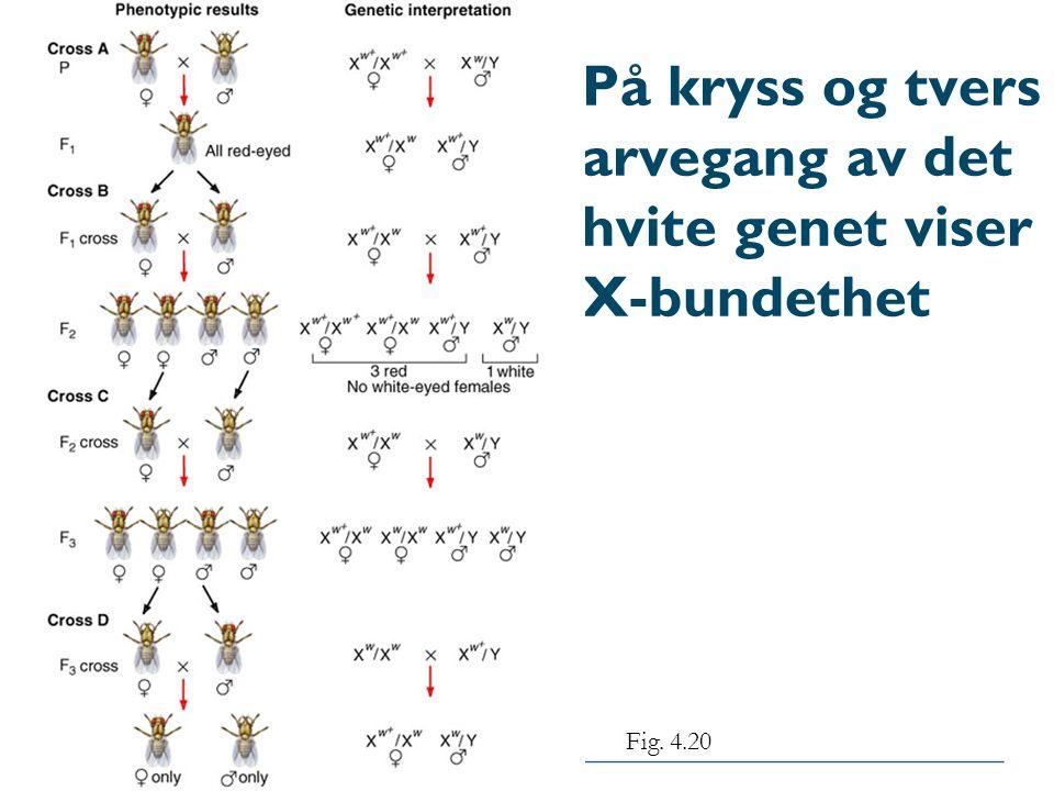 På kryss og tvers arvegang av det hvite genet viser X-bundethet Fig. 4.20