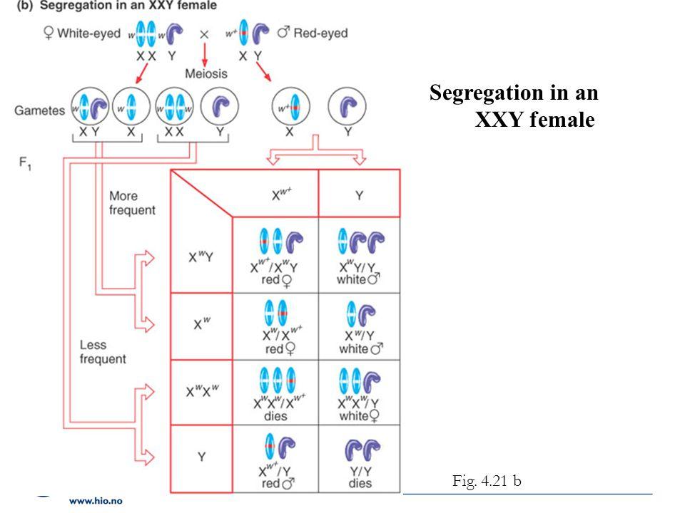 Segregation in an XXY female Fig. 4.21 b