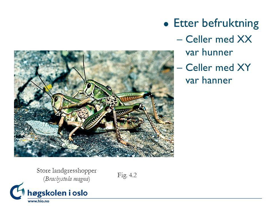 l Etter befruktning –Celler med XX var hunner –Celler med XY var hanner Store landgresshopper (Brachystola magna) Fig. 4.2