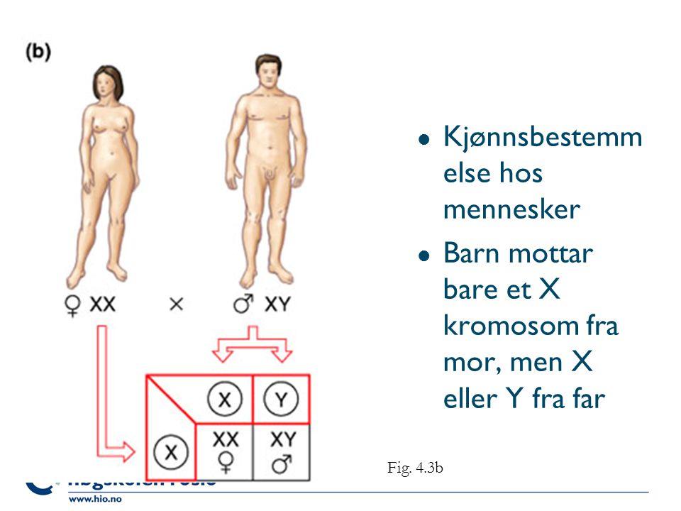 l Kjønnsbestemm else hos mennesker l Barn mottar bare et X kromosom fra mor, men X eller Y fra far Fig. 4.3b
