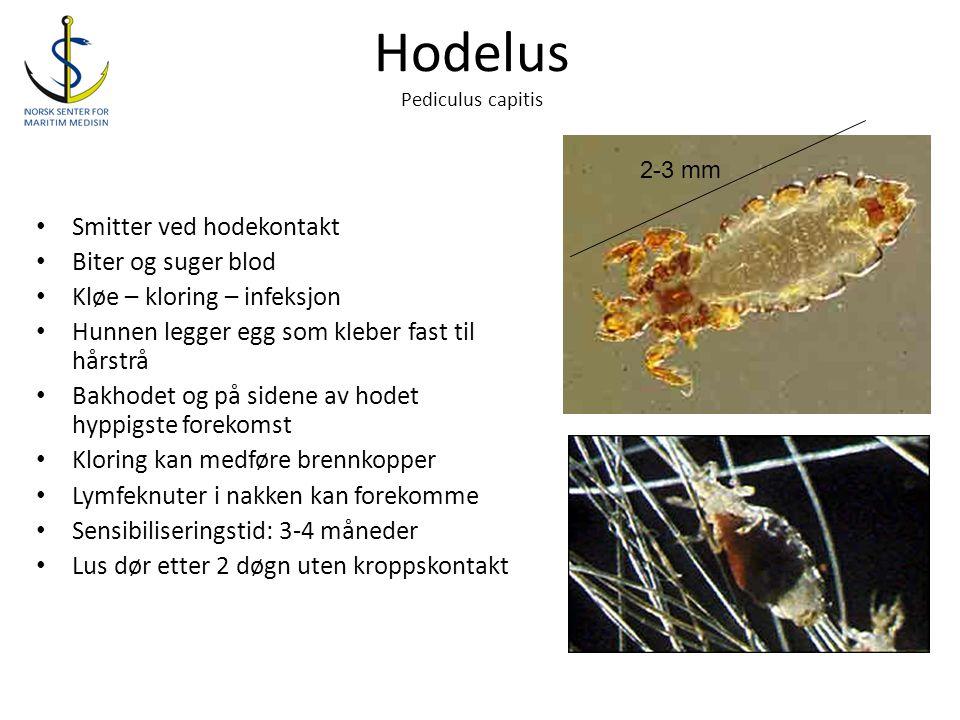 Hodelus Pediculus capitis • Smitter ved hodekontakt • Biter og suger blod • Kløe – kloring – infeksjon • Hunnen legger egg som kleber fast til hårstrå