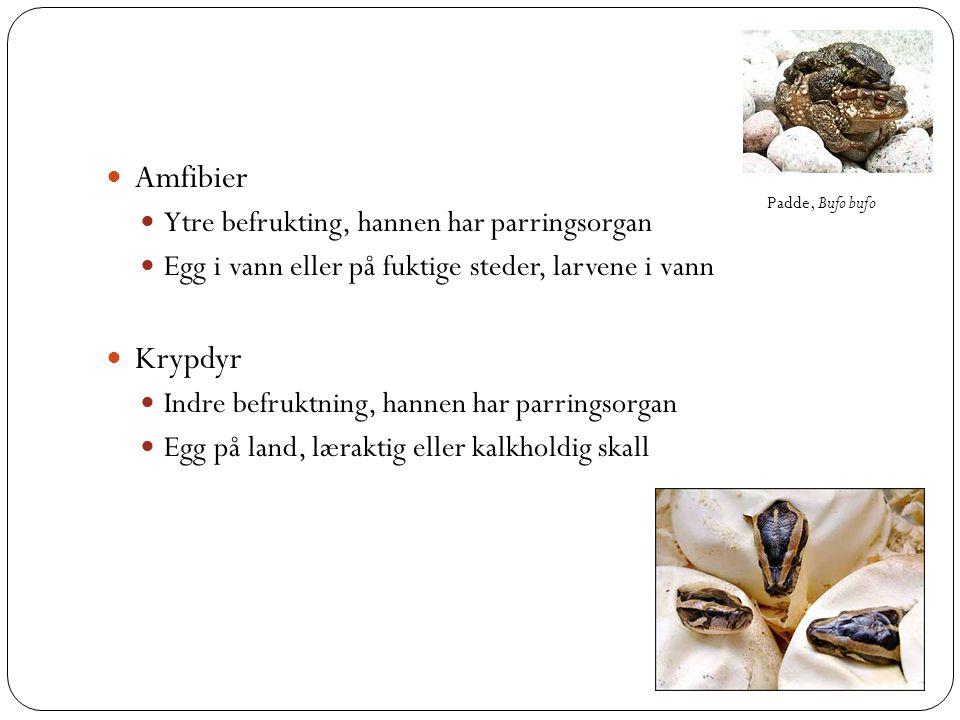 Amfibier  Ytre befrukting, hannen har parringsorgan  Egg i vann eller på fuktige steder, larvene i vann  Krypdyr  Indre befruktning, hannen har