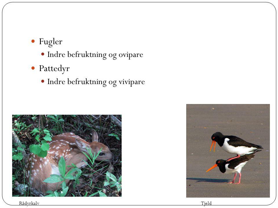  Fugler  Indre befruktning og ovipare  Pattedyr  Indre befruktning og vivipare TjeldRådyrkalv