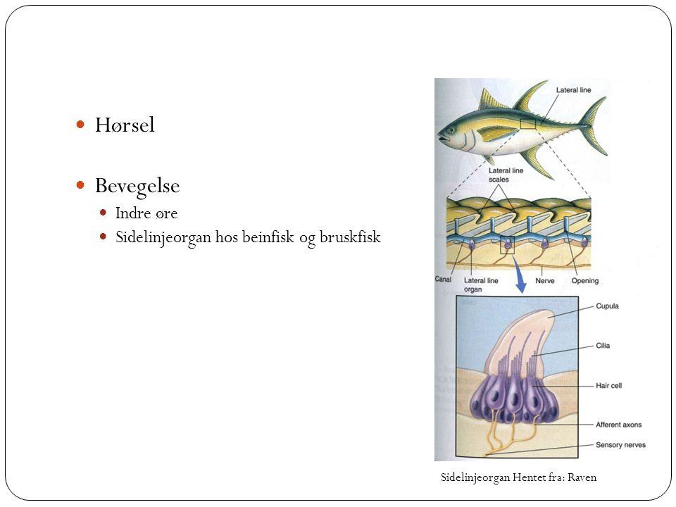  Hørsel  Bevegelse  Indre øre  Sidelinjeorgan hos beinfisk og bruskfisk Sidelinjeorgan Hentet fra: Raven