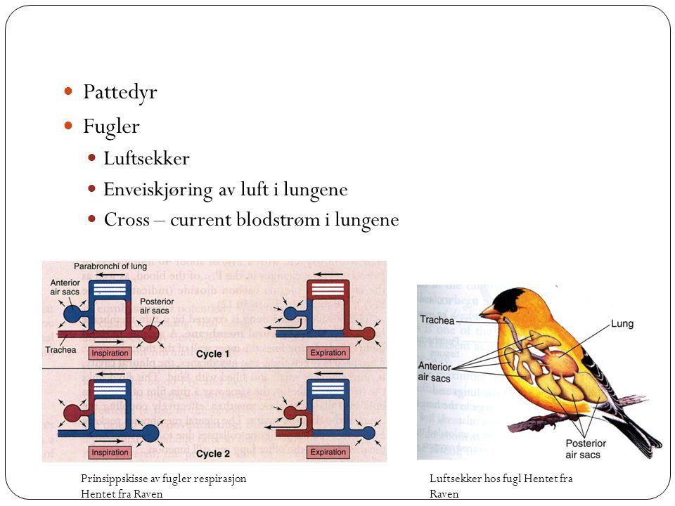  Pattedyr  Fugler  Luftsekker  Enveiskjøring av luft i lungene  Cross – current blodstrøm i lungene Luftsekker hos fugl Hentet fra Raven Prinsipp