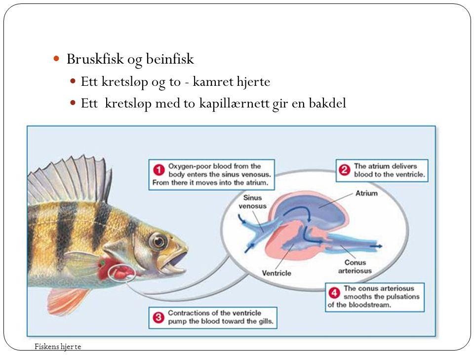  Bruskfisk og beinfisk  Ett kretsløp og to - kamret hjerte  Ett kretsløp med to kapillærnett gir en bakdel Fiskens hjerte