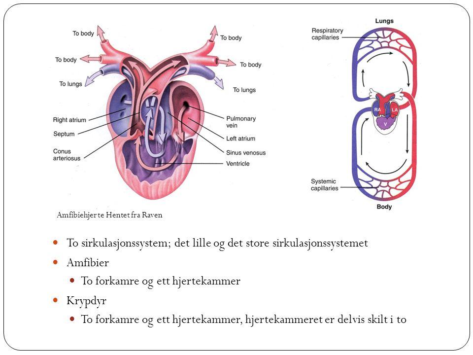  To sirkulasjonssystem; det lille og det store sirkulasjonssystemet  Amfibier  To forkamre og ett hjertekammer  Krypdyr  To forkamre og ett hjert