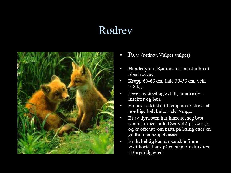 Ekorn •Ekorn (Sciurus vulgaris) •I parker og hager kan en ofte se ekorn på leting etter kongler og nøtter oppe i trea.