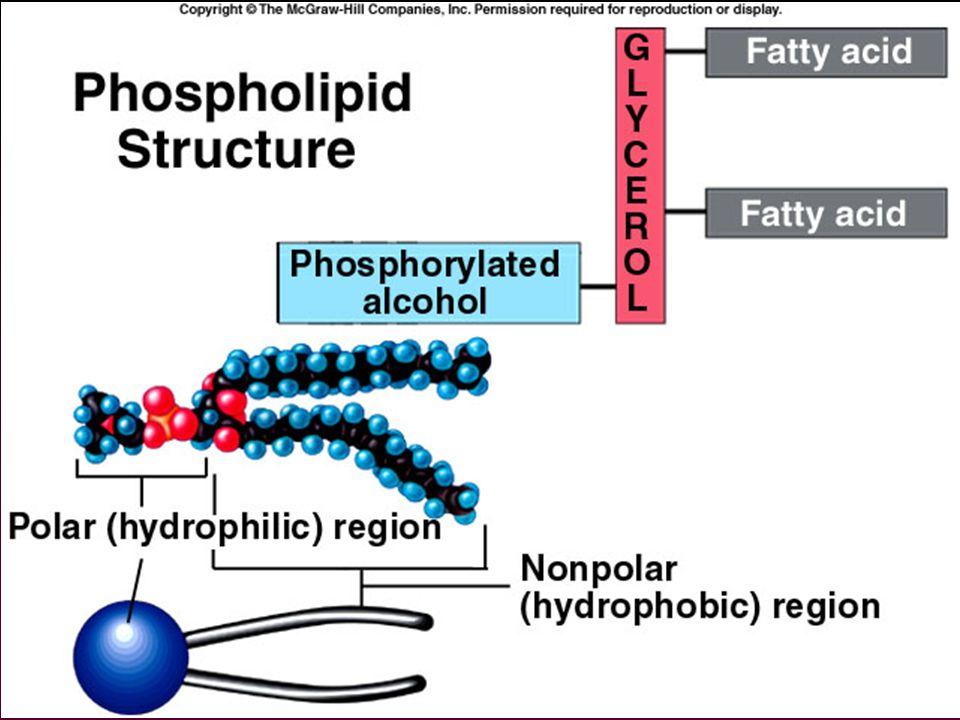 •celledeling/vekst (proliferasjon) •død (apoptose) •inflammasjon LO LTB 4