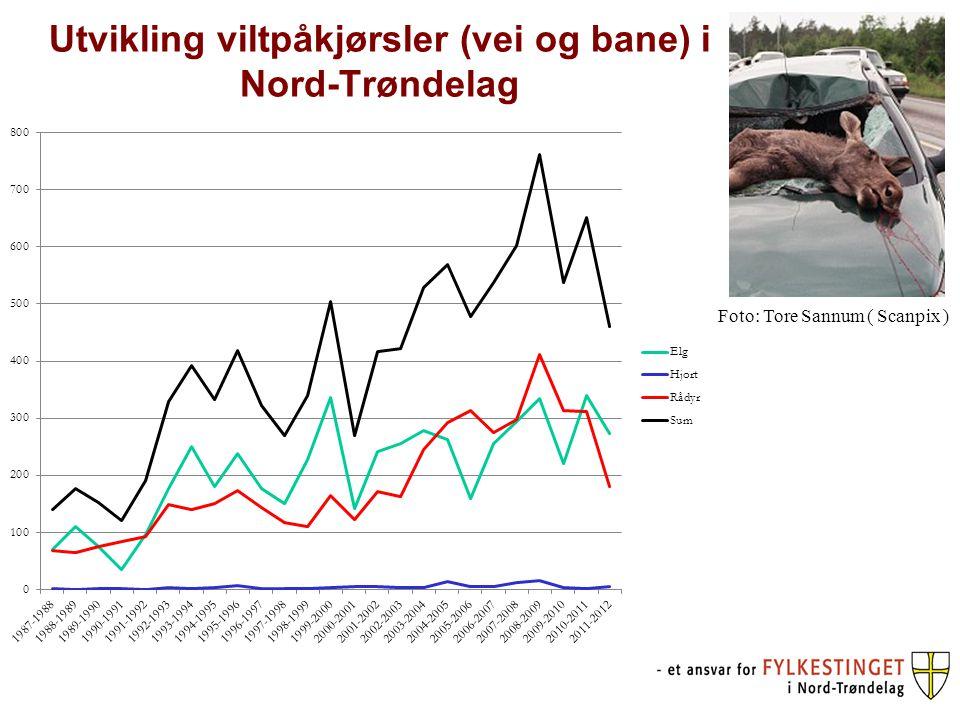 Utvikling viltpåkjørsler (vei og bane) i Nord-Trøndelag Foto: Tore Sannum ( Scanpix )