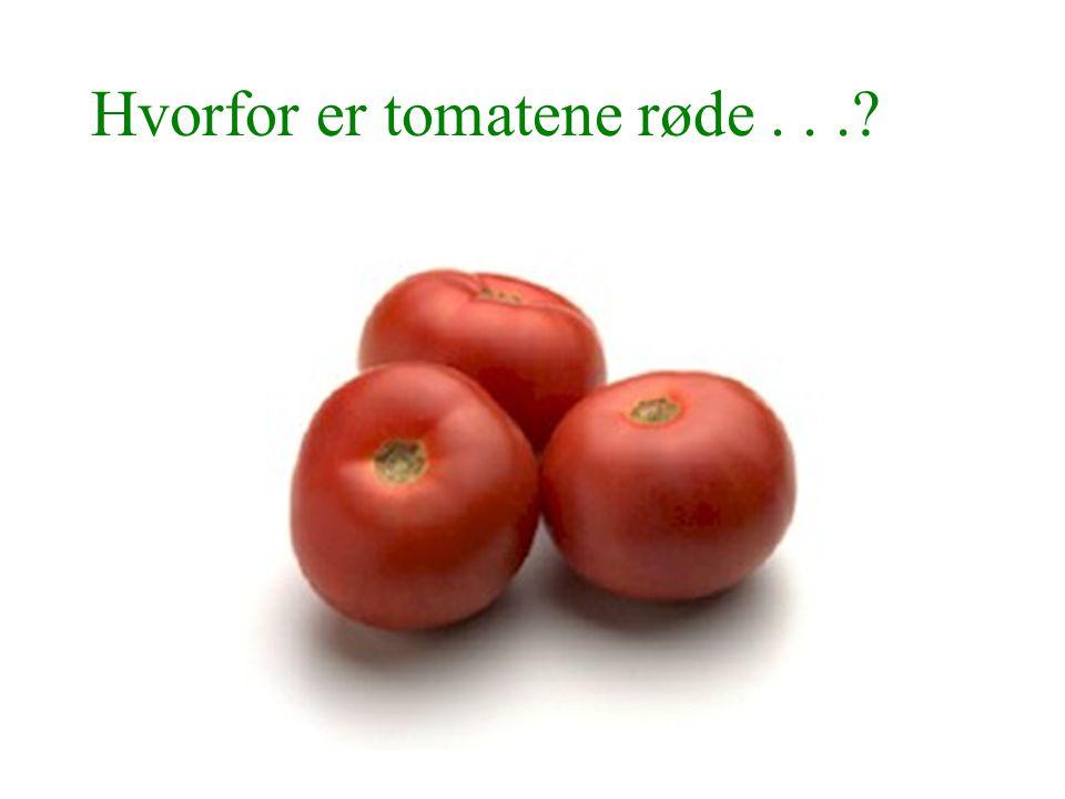 Hvorfor er tomatene røde...?