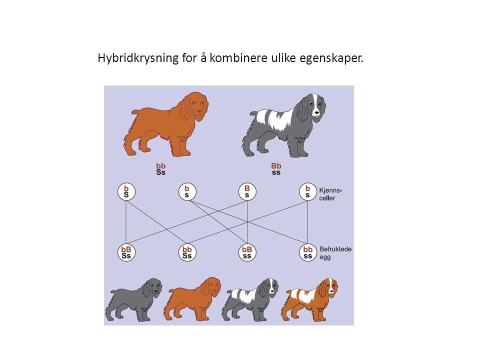 Hybridkrysning for å kombinere ulike egenskaper.
