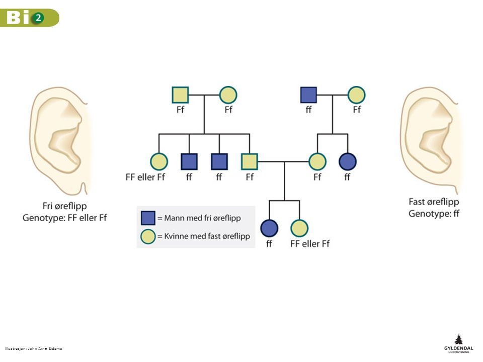 Øyenfargen hos mennesker styres av flere genpar.