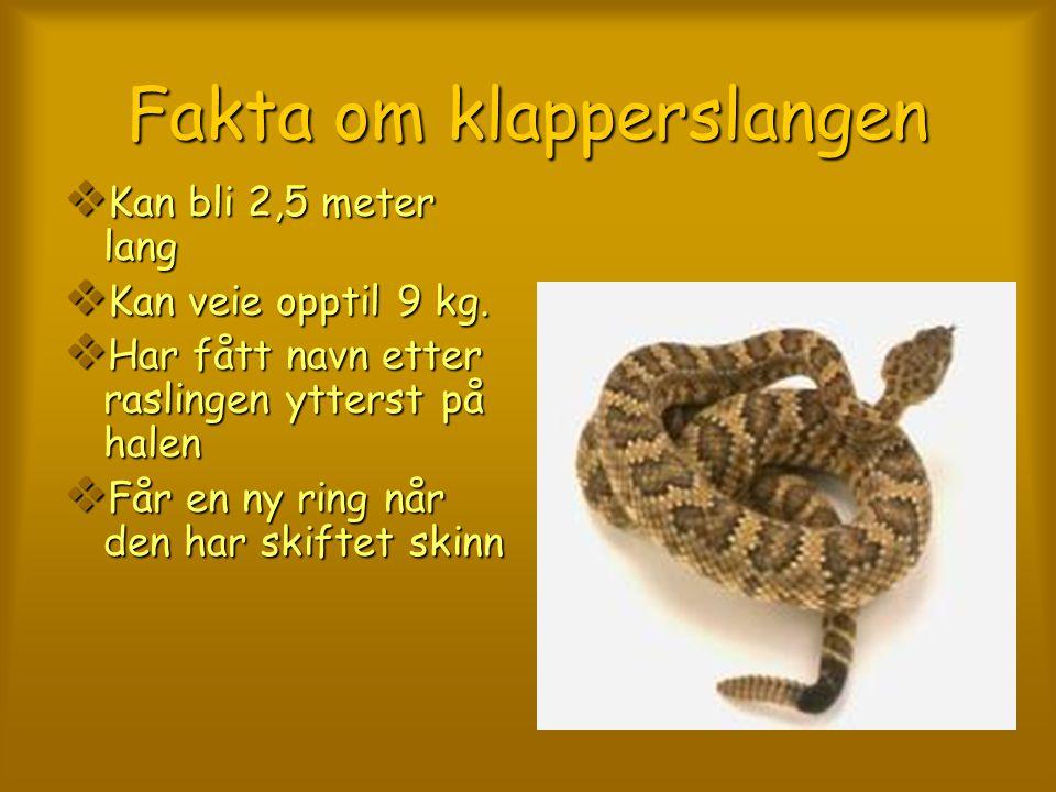 Fakta om klapperslangen KKKKan bli 2,5 meter lang KKKKan veie opptil 9 kg. HHHHar fått navn etter raslingen ytterst på halen FFFFår en