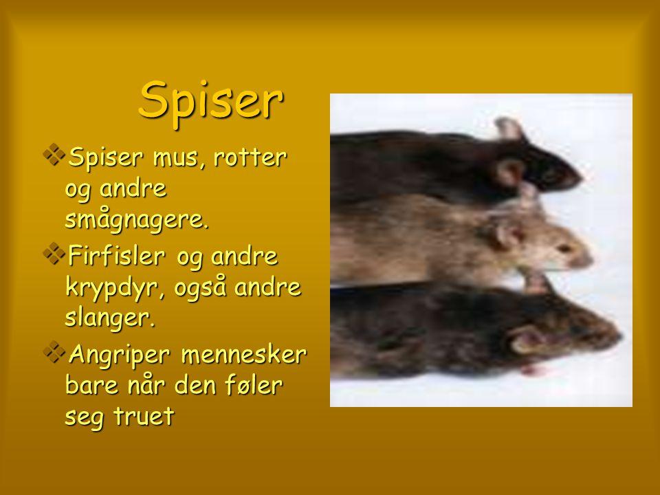 Spiser Spiser  Spiser mus, rotter og andre smågnagere.  Firfisler og andre krypdyr, også andre slanger.  Angriper mennesker bare når den føler seg