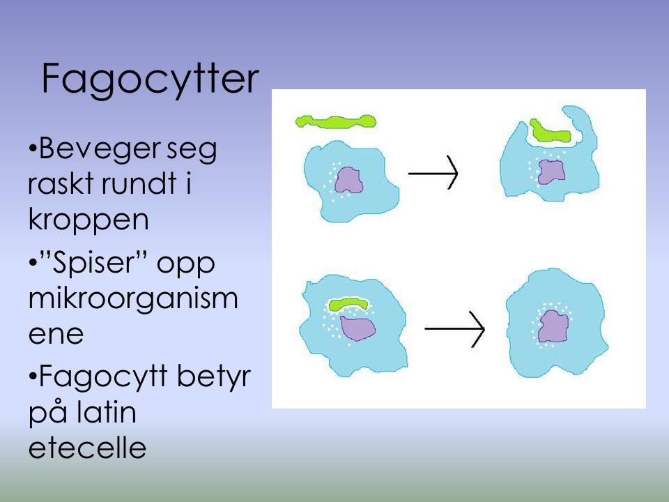 Fagocytter • Beveger seg raskt rundt i kroppen • Spiser opp mikroorganism ene • Fagocytt betyr på latin etecelle