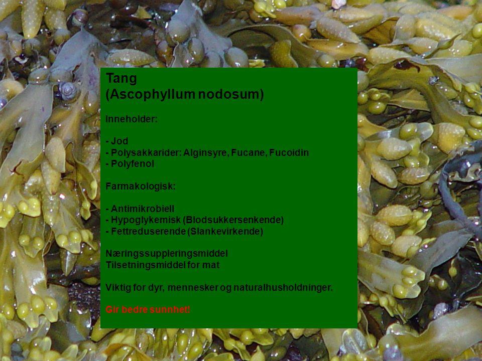 Tang (Ascophyllum nodosum) Inneholder: - Jod - Polysakkarider: Alginsyre, Fucane, Fucoidin - Polyfenol Farmakologisk: - Antimikrobiell - Hypoglykemisk (Blodsukkersenkende) - Fettreduserende (Slankevirkende) Næringssuppleringsmiddel Tilsetningsmiddel for mat Viktig for dyr, mennesker og naturalhusholdninger.
