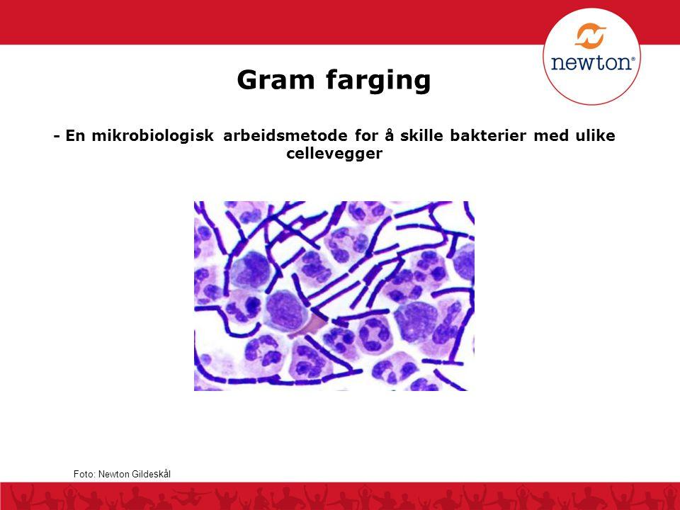 Gram farging - En mikrobiologisk arbeidsmetode for å skille bakterier med ulike cellevegger Foto: Newton Gilde skål
