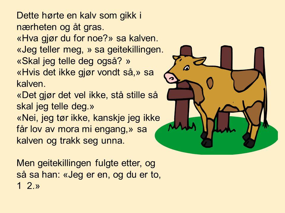 Dette hørte en kalv som gikk i nærheten og åt gras. «Hva gjør du for noe?» sa kalven. «Jeg teller meg, » sa geitekillingen. «Skal jeg telle deg også?