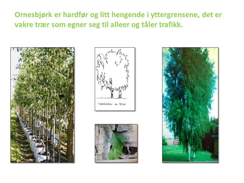 Ornesbjørk er hardfør og litt hengende i yttergrensene, det er vakre trær som egner seg til alleer og tåler trafikk.