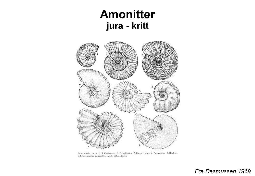 Amonitter jura - kritt Fra Rasmussen 1969