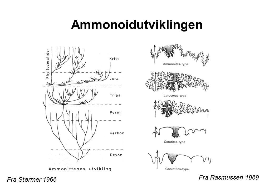Ammonoidutviklingen Fra Størmer 1966 Fra Rasmussen 1969